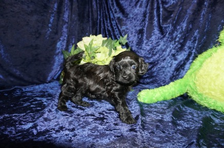Smoochie (Asia) Female CKC Malshipoo $1750 Ready 9/5 SOLD MY NEW HOME IS PALMDALE, CA 1.5 lbs 4W4D Old