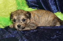Moana (Ellie) Female Havapoo $1750 Ready 9/12 HAS DEPOSIT MY NEW HOME YULEE, FL 1.5 lbs 3W4D Old