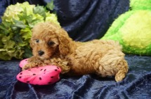 Mulan (Chewie) Female CKC Mini Labradoodle $2000 Ready 8/21 SOLD ! My new home is in Jax, FL! 2.6 lbs 7 Wks old