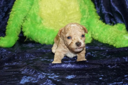 Rudy (Scout) Male CKC Havapoo $1750 Ready 9/18 HAS DEPOSIT TALLAHASSEE, FL 14.5 oz 3 Weeks old