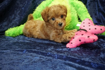 Ariel (Brasco) Female CKC Mini Labradoodle $2000 Ready 8/21 SOLD MY NEW HOME JAX BEACH, FL 2.6 lbs 7 Wks old