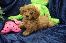 Rapunzel Female CKC Mini Labradoodle $2000 Ready 8/21 SOLD MY NEW HOME JACKSONVILLE, FL 2.14 lbs 7 Wks old
