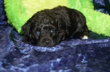 Sina Female CKC Havapoo $1750 Ready 9/12 SOLD MY NEW HOME JACKSONVILLE, FL 1.7 Lbs 3W4D Old