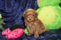 Sugar Female CKC Malshipoo $2000 Ready 9/5 SOLD MY NEW HOME MADISON, WI 1.4 lbs 4W4D Old