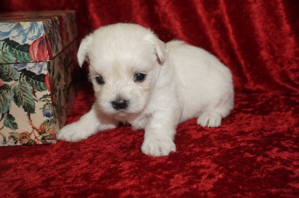 Artic Male CKC Malshi Born 8/18 $1750 Ready 10/13 AVAILABLE 1.3lbs 3wk4d old