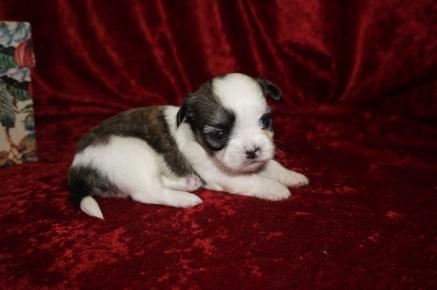 Tink Female CKC Havashu Born 8/20 $1750 Ready 10/15 HAS DEPOSIT 12.8oz 3wk2d old