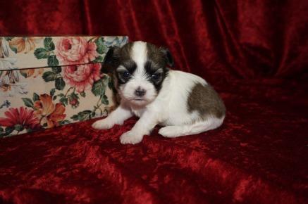 Trixie Female CKC Havashu Born 8/20 $1750 Ready 10/15 HAS HOLD 14oz 3wk2d old
