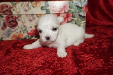 Alaska Male CKC Malshi Born 8/18 $2000 Ready 10/13 AVAILABLE 10oz 3wk4d old
