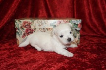 Avalanche Male CKC Malshi Born 8/18 $1750 Ready 10/13 AVAILABLE 1.2lbs 3wk4d old