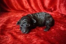 Licorice Male CKC Havapoo $1750 Ready 11/3 AVAILABLE 12.7 oz 9 Days Old
