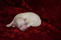Precious Female CKC Havanese Born 9/6 $1750 Ready 11/2 AVAILABLE 6.5oz 6 days old
