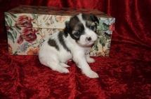 Tilly Female CKC Havashu Born 8/20 $1750 Ready 10/15 HAS HOLD 1.1lb 3wk2d old