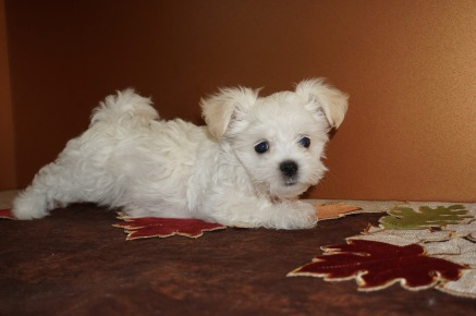 Harmony Female CKC Havanese Born 9/5 $1750 Ready 11/1 SOLD MY NEW HOME ROCKLEDGE, FL 2.9 lbs 8W5D Old