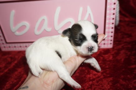 LUCY Female CKC Shorkie $1750 Ready 10/7 AVAILABLE 7.3 oz 2 Wks Old