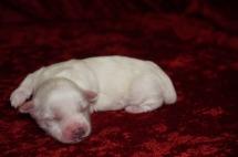 Polly Female CKC Havanese Born 9/6 $1750 Ready 11/2 AVAILABLE 8.3oz 6 days old
