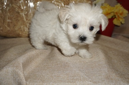 Artic Male CKC Malshi Born 8/18 $1750 Ready 10/13 SOLD MY NEW HOME JACKSONVILLE, FL 1.14 lbs 6W3D old