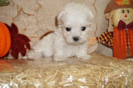 Aspen (Benji) Male CKC Malshi Born 8/18 $1750 Ready 10/13 SOLD MY NEW HOME JACKSONVILLE, FL 1.3 lbs 6W3D Old