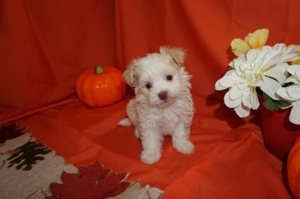 Havanese Breeder Jacksonville Tlc Puppy Love
