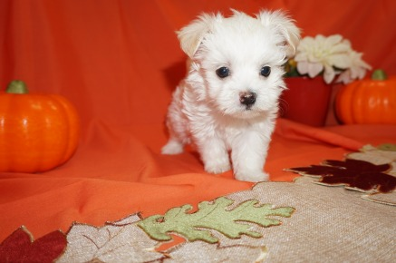 Hailey (Violet) Female CKC Havanese Born 9/5 $1750 Ready 11/1 SOLD MY NEW HOME ATLANTIC BEACH, FL 1.6lbs 6wks old