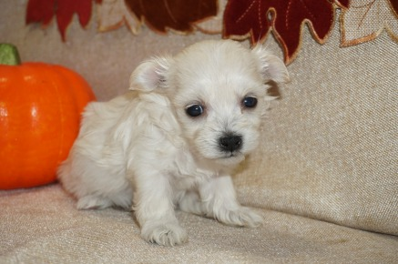 Hannah Female CKC Havanese Born 9/5 $1750 Ready 11/1 AVAILABLE 1.1 lbs 3W5D Old