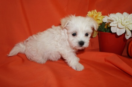 Hannah Female CKC Havanese Born 9/5 $1750 Ready 11/1 SOLD MY NEW HOME PANAMA CITY, FL 1.11lbs 6wks old
