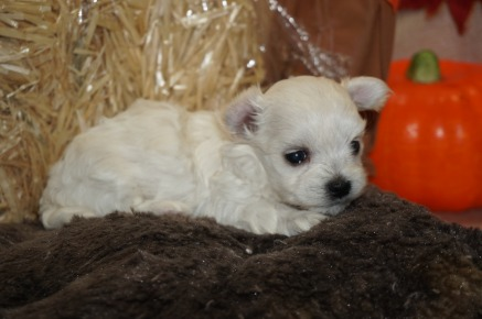 Harmony Female CKC Havanese Born 9/5 $1750 Ready 11/1 HAS DEPOSIT MY NEW HOME ROCKLEDGE, FL 15.8 oz 3W5D Old