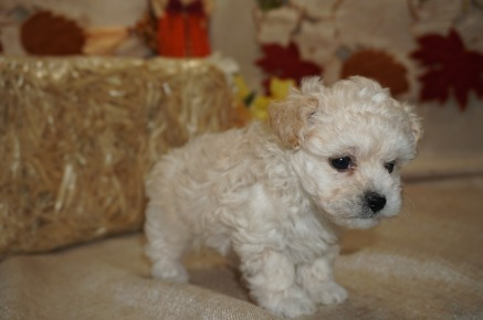 Henry Male CKC Havapoo $2000 Ready 10/18 SOLD MY NEW HOME IS FLEMING ISLAND, FL 1.2 lbs 5W5D Old