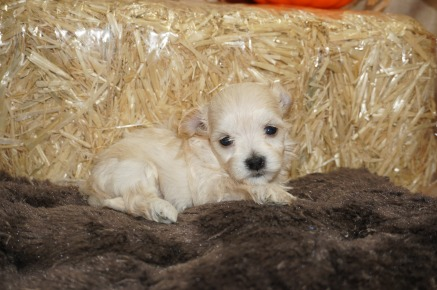 Honey Bee Female CKC Havanese Born 9/5 $1750 Ready 11/1 HAS DEPOSIT MY NEW HOME ST JOHNS, FL 1 lb 3W5D Old