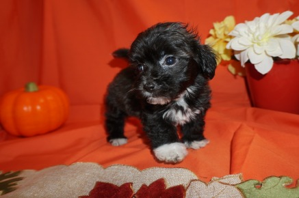 Jax ( KUSH TUCKER)Male CKC Maltipoo $1750 Ready 10/23 SOLD! My new home is in Jax, FL. 1.10lbs 7wk1d old
