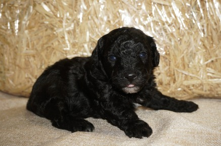 Jelly Bean Male CKC Havapoo $1750 Ready 11/3 HAS DEPOSIT GOING TO MELBOURNE, FL 1.9 lbs 3W2D Old
