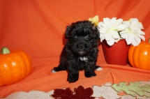 Jubilee Female CKC Maltipoo $1750 Ready 10/23 SOLD MY NEW HOME FERNANDINA, FL 1.7lbs 7wks1d old