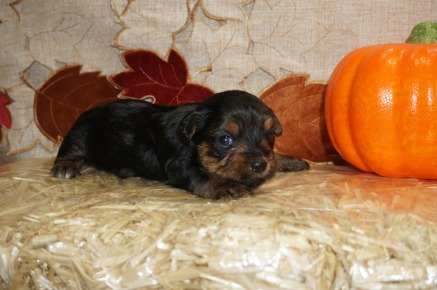 Jughead Male CKC Yorkie $1750 Ready 11/5 AVAILABLE 1 lb 3 Wks Old