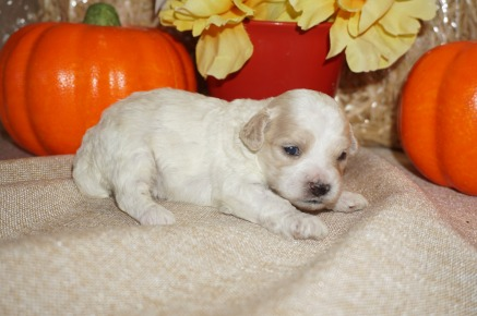 Kacey Female CKC Shihpoo $1750 Ready 11/14 AVAILABLE, 11.9 oz Just Born