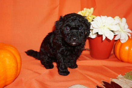 Licorice Male CKC Havapoo $1750 Ready 11/3 SOLD I'M GOING TO PONTE VEDRA BEACH, FL 2.4lbs 5wk4d old
