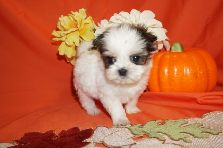 Lolipop Female CKC Shorkie $2000 Ready 10/31 SOLD MY NEW HOME JACKSONVILLE, FL 12.8oz 5wk6d old