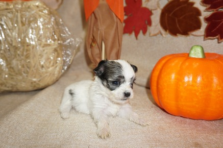 Lucy Female CKC Shorkie $2000 Ready 10/31 AVAILABLE 9 oz 4 Wks Old