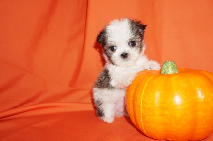 Louis Male CKC Shorkie $1750 Ready 10/31 SOLD MY NEW HOME COCOA, FL 12oz 5wk6d old