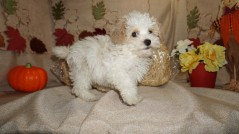 SOLD! Rex Gorgeous White Curly Male CKC Havapoo With The