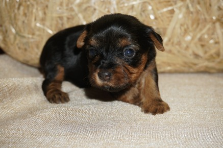 Veronica Female CKC Yorkie $1750 Ready HAS DEPOSIT MY NEW HOME JACKSONVILLE, FL 1.3 lbs 3 wks old