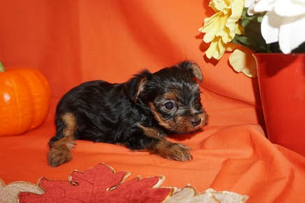 Veronica Female CKC Yorkie $1750 Ready HAS DEPOSIT MY NEW HOME JACKSONVILLE, FL 1.8lbs 5wk2d old