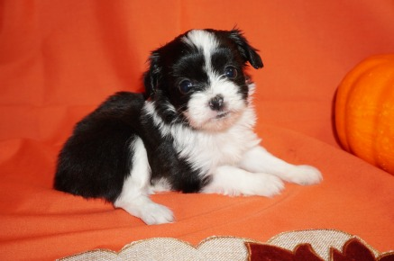 Victoria Female CKC Miki Born 9/10 $2000 Ready 11/5 SOLD MY NEW HOME CARMEL, ME 1.1lbs 5wk2d old