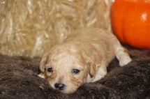 Abigail Female CKC Maltipoo $2000 Ready 11/10 HAS DEPOSIT MY NEW HOME ORLANDO, FL 14.5 oz 2W2D Old
