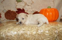 Andy Male CKC Maltipoo $1750 Ready 11/10 HAS DEPOSIT I'M GOING TO ST JOHNS, FL 15.6 OZ 2W2D Old