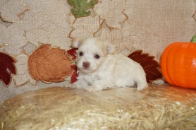 HaHa Female CKC Havanese Born 9/5 $1750 Ready 11/1 AVAILABLE 1.2 lb 3W5D Old