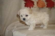 Henry Male CKC Havapoo $1750 Ready 10/18 SOLD MY NEW HOME IS FLEMING ISLAND, FL 1.2 lbs 5W5D Old