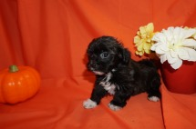 Jax (KUSH TUCKER) Male CKC Maltipoo $1750 Ready 10/23 SOLD! My new home is in Jax, FL. 1.10lbs 7wk1d old
