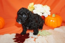 Jelly Bean Male CKC Havapoo $1750 Ready 11/3 SOLD GOING TO FLOKSTON, GA 2.5lbs 5wk4d old