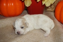 King Male CKC Shihpoo $1750 Ready 11/14 AVAILABLE, 9.6 oz Just Born