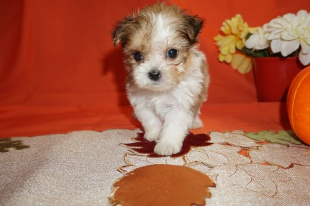 Lancelot Male CKC Shorkie $2000 Ready 10/31 SOLD I'M GOING TO ST JOHNS, FL 1.1lbs 5wk6d old