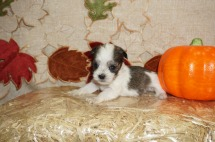 Louis Male CKC Shorkie $1750 Ready 10/31 HAS DEPOSIT MY NEW HOME COCOA, FL 10 oz 4 Wks Old